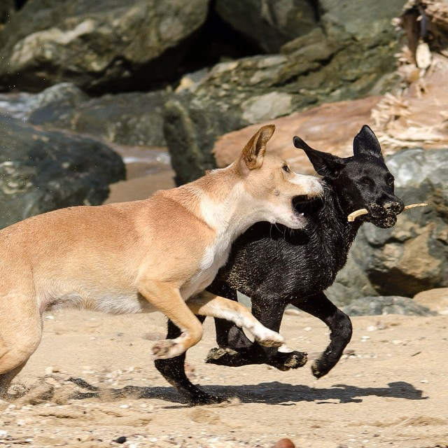 Puppies playing with a stick in the sand. #puertorico #rivercityphotographyinstagram #puppy #funinthesun - From Instagram